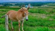 Roadside Mule