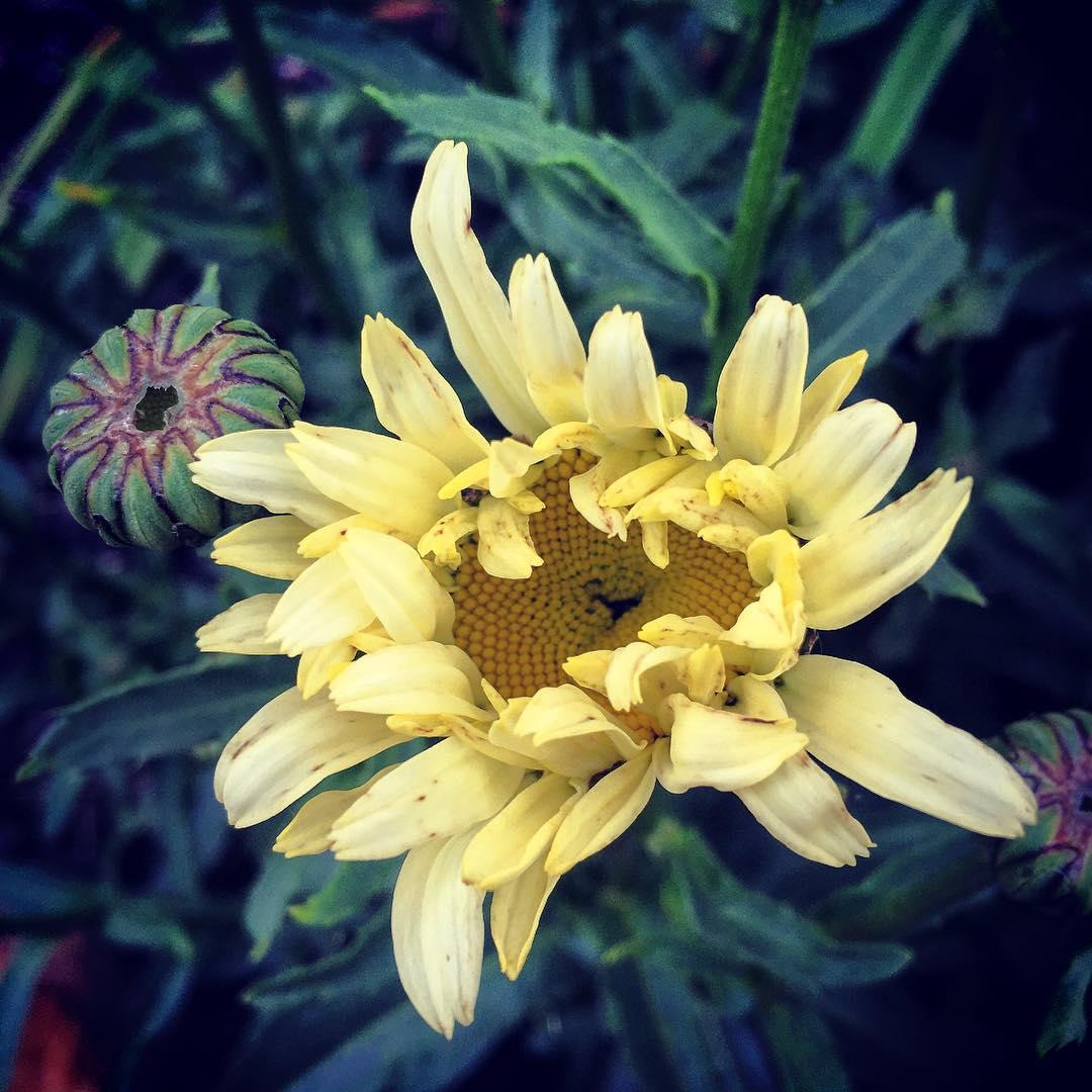 Daisy, my garden.